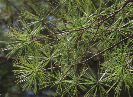 Tree of the Month: White Pine