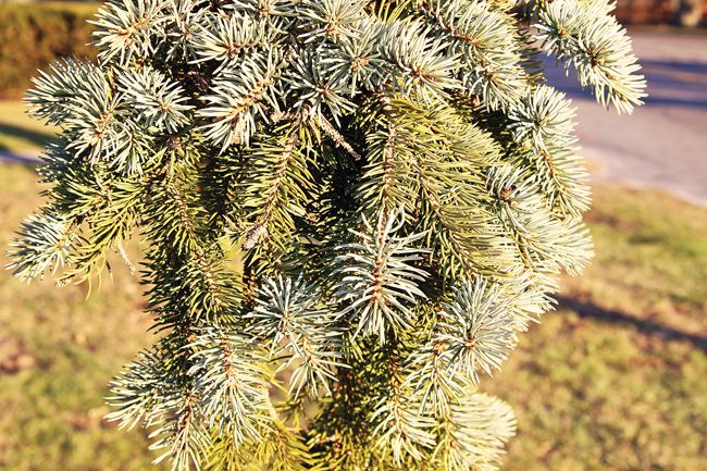 Tree of the Month: Colorado Spruce