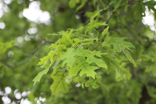 Tree of the Month: Pin Oak