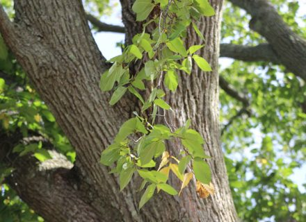Tree of the Month: American Elm