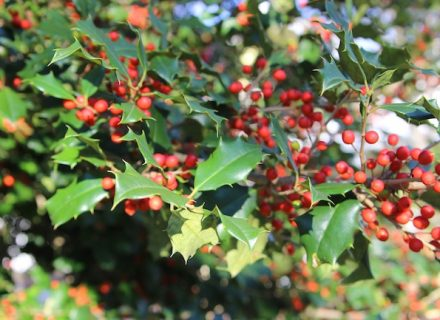 Tree of the Month: American Holly