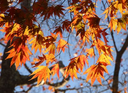 Tree of the Month: Japanese Maple