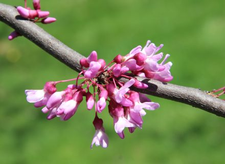 Tree of the Month: Eastern Redbud