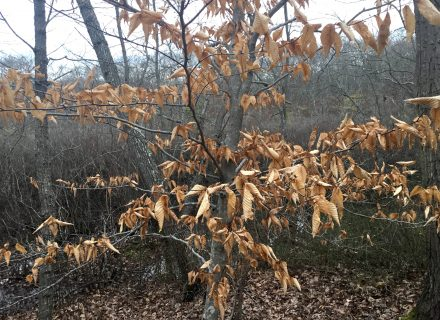 Tree of the Month: American Beech