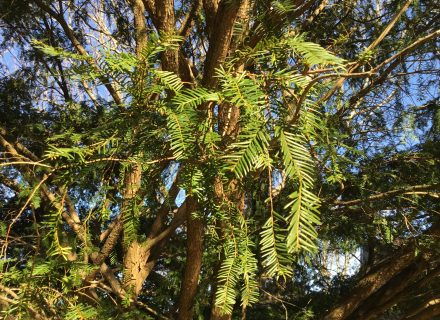 Tree of the Month: English or European Yew