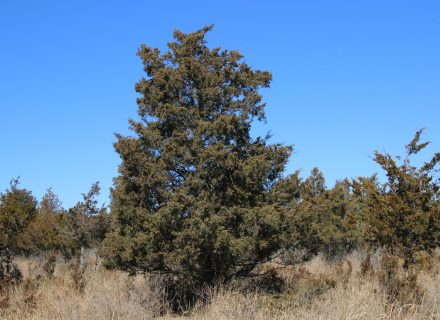 Tree of the Month: Eastern Red Cedar