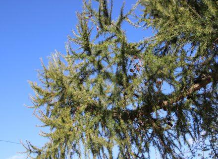Tree of the Month: Tamarack