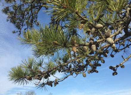 Tree of the Month: Pitch Pine