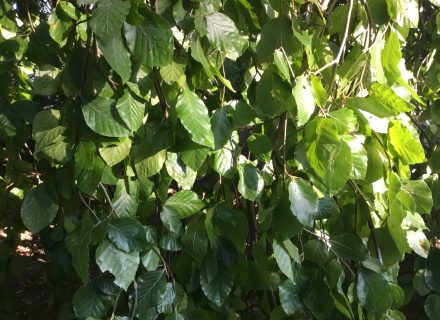 Tree of the Month: Weeping European Beech