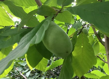 Tree of the Month: Pawpaw