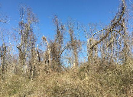 Tree News: Vines Vs. Trees
